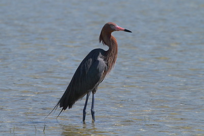 Reddish Egret Nominate subspecies Egretta rufescens rufescens Fort De Soto Park, Tierra Verde, Florida 29 March 2017
