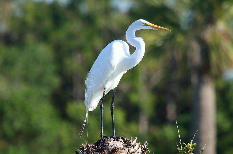 "Great Egret<br> ""American"" subspecies<br> <i>Ardea alba egretta</i><br> Viera Wetlands, Melbourne, Florida<br> 20 February 2017"