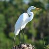 """Great Egret<br> """"American"""" subspecies<br> <i>Ardea alba egretta</i><br> Viera Wetlands, Melbourne, Florida<br> 20 February 2017"""