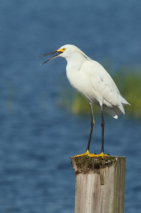Snowy Egret Nominate subspecies Egretta thula thula Circle B Bar Reserve, Lakeland, Florida 5 July 2017