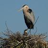 Great Blue Heron<br> <i>occidentalis</i> subspecies<br> <i>Ardea herodias occidentalis</i><br> Viera Wetlands, Melbourne, Florida<br> 21 March 2017