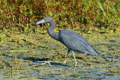 Little Blue Heron Egretta caerulea Celery Fields, Sarasota, Florida 29 November 2017