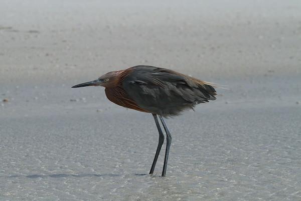Reddish Egret Nominate subspecies Egretta rufescens rufescens Siesta Key Beach, Siesta Key, Florida 29 October 2017