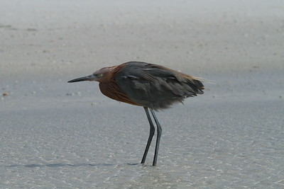 Reddish Egret Nominate subspecies Egretta rufescens rufescens Siesta Key Beach, Siesta Key, Florida 29 October 2017