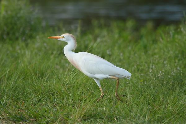 Western Cattle Egret Bubulcus ibis Circle B Bar Reserve, Lakeland, Florida 1 March 2018