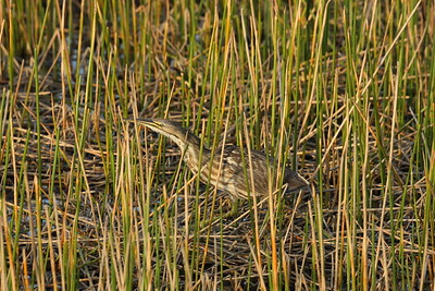 American Bittern Botaurus lentiginosis William J. Gentry, Jr. Memorial Eco Park, Sebring, Florida 13 March 2021