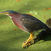 Green Heron<br> Nominate subspecies<br> <i>Butorides virescens virescens</i><br> Circle B Bar Reserve, Lakeland, Florida<br> 2 February 2017
