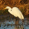 "Great Egret<br> ""American"" subspecies<br> <i>Ardea alba egretta</i><br> Circle B Bar Reserve, Lakeland, Florida<br> 11 January 2017"