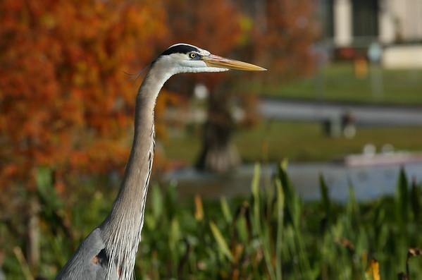 "Great Blue Heron ""Ward's"" subspecies Ardea herodias wardi Lake Morton, Lakeland, Florida 01 January 2021"