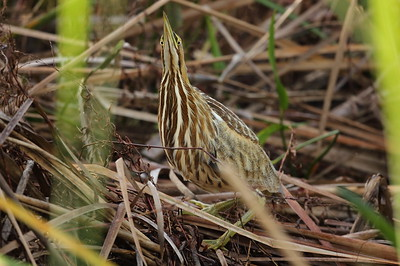 American Bittern Botaurus lentiginosis Avon Park Air Force Range, Polk County, Florida 22 November 2019