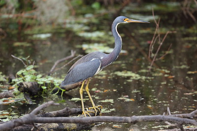 Tricolored Heron ruficollis subspecies Egretta tricolor ruficollis Circle B Bar Reserve, Lakeland, Florida 11 December 2019