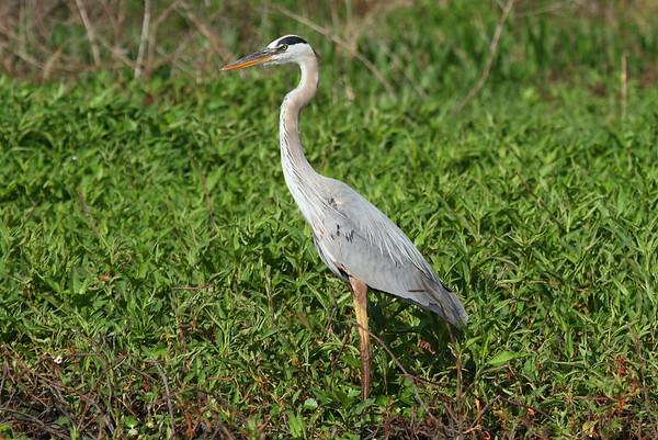 "Great Blue Heron ""Ward's"" subspecies Ardea herodias wardi Circle B Bar Reserve, Lakeland, Florida 1 March 2018"