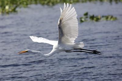 "Great Egret ""American"" subspecies Ardea alba egretta Lake Istokpoga Park, Sebring, Florida 24 August 2020"