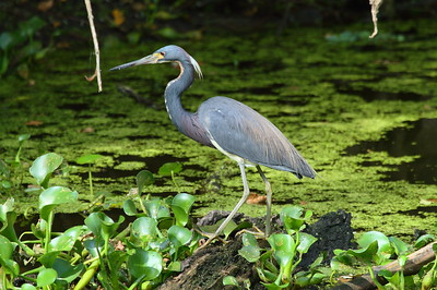Tricolored Heron ruficollis subspecies Egretta tricolor ruficollis Circle B Bar Reserve, Lakeland, Florida 25 April 2017