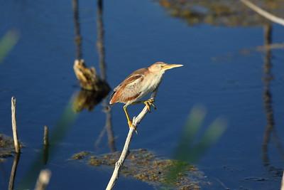 Least Bittern Nominate subspecies Ixobrychus exilis exilis Lake Apopka Wildlife Drive, Apopka, Florida 17 July 2020