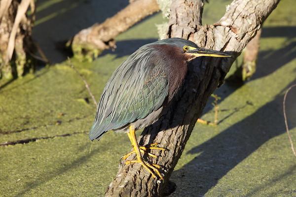 Green Heron Nominate subspecies Butorides virescens virescens Circle B Bar Reserve, Lakeland, Florida 08 January 2020