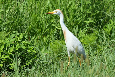 Western Cattle Egret Bubulcus ibis Lake Apopka Wildlife Drive, Apopka, Florida 7 July 2017