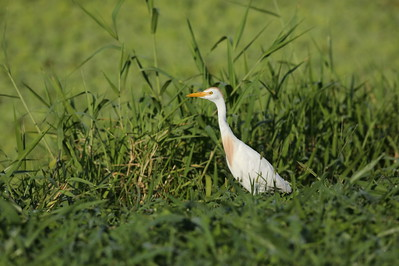 Western Cattle Egret Bubulcus ibis Lake Apopka Wildlife Drive, Apopka, Florida 17 July 2020