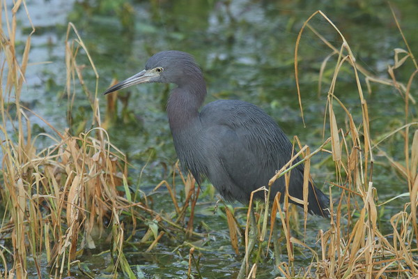 Little Blue Heron Egretta caerulea Circle B Bar Reserve, Lakeland, Florida 22 January 2018