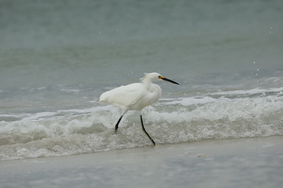 Snowy Egret Nominate subspecies Egretta thula thula Siesta Beach, Siesta Key, Florida 14 November 2019