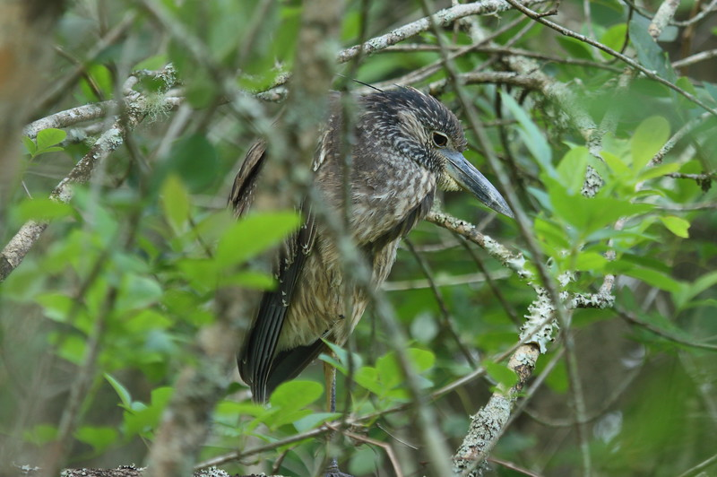 Yellow-crowned Night Heron (juvenile)<br> Nominate subspecies<br> <i>Nyctanassa violacea violacea</i><br> Lettuce Lake Park, Tampa, Florida<br> 28 February 2017