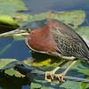 Green Heron<br> Nominate subspecies<br> <i>Butorides virescens virescens</i><br> Lake Mirror, Lakeland, Florida<br> 2 February 2017
