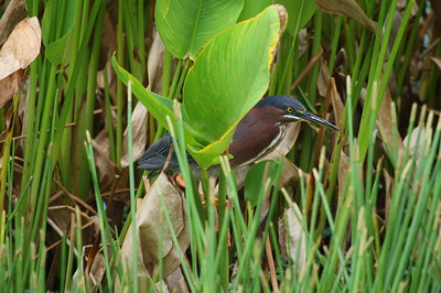 Green Heron Nominate subspecies Butorides virescens virescens Celery Fields, Sarasota, Florida 4 July 2018