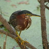 Green Heron<br> Nominate subspecies<br> <i>Butorides virescens virescens</i><br> Circle B Bar Reserve, Lakeland, Florida<br> 14 February 2017