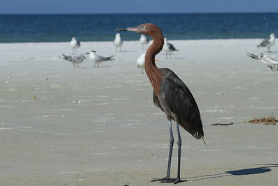 Reddish Egret Nominate subspecies Egretta rufescens rufescens Siesta Beach, Siesta Key, Florida 6 September 2018