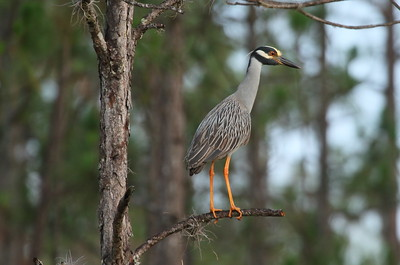 Yellow-crowned Night Heron Nominate subspecies Nyctanassa violacea violacea Avon Park Air Force Range, Highlands County, Florida 25 May 2018
