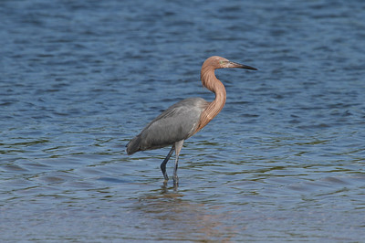 Reddish Egret Nominate subspecies Egretta rufescens rufescens Fort De Soto Park, Tierra Verde, Florida 1 January 2017