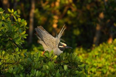 "Yellow-crowned Night Heron Nominate subspecies Nyctanassa violacea violacea J.N. ""Ding"" Darling National Wildlife Refuge, Sanibel, Florida 13 April 2021"