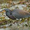 Tricolored Heron<br> <i>ruficollis</i> subspecies<br> <i>Egretta tricolor ruficollis</i><br> Circle B Bar Reserve, Lakeland, Florida<br> 22 November 2017