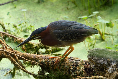 Green Heron Nominate subspecies Butorides virescens virescens Circle B Bar Reserve, Lakeland, Florida 25 April 2017