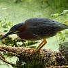 Green Heron<br> Nominate subspecies<br> <i>Butorides virescens virescens</i><br> Circle B Bar Reserve, Lakeland, Florida<br> 25 April 2017