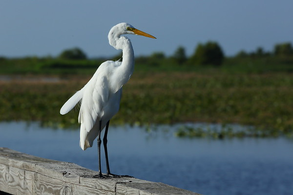 "Great Egret ""American"" subspecies Ardea alba egretta Lake Istokpoga Park, Sebring, Florida 27 July 2021"
