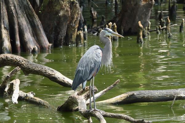 """Great Blue Heron """"Ward's"""" subspecies Ardea herodias wardi Circle B Bar Reserve, Lakeland, Florida 5 June 2019"""