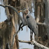Great Blue Heron<br> <i>occidentalis</i> subspecies<br> <i>Ardea herodias occidentalis</i><br> Circle B Bar Reserve, Lakeland, Florida<br> 14 February 2017