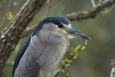 "Black-crowned Night Heron ""American"" subspecies Nycticorax nycticorax hoactli Lake Parker, Lakeland, Florida 22 January 2018"