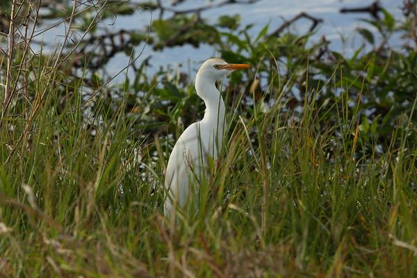 Western Cattle Egret Bubulcus ibis Circle B Bar Reserve, Lakeland, Florida 01 January 2021