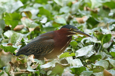 Green Heron Nominate subspecies Butorides virescens virescens Lake Parker, Lakeland, Florida 22 January 2018