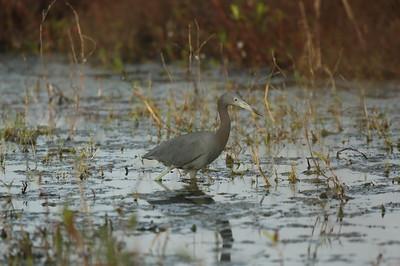 Little Blue Heron Egretta caerulea Celery Fields, Sarasota, Florida 16 December 2020