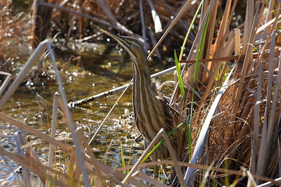 American Bittern Botaurus lentiginosis William J. Gentry, Jr. Memorial Eco Park, Sebring, Florida 06 January 2021