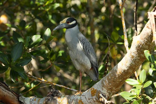 "Yellow-crowned Night Heron Nominate subspecies Nyctanassa violacea violacea J.N. ""Ding"" Darling National Wildlife Refuge, Sanibel, Florida 05 April 2021"