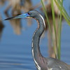 Tricolored Heron<br> <i>ruficollis</i> subspecies<br> <i>Egretta tricolor ruficollis</i><br> Viera Wetlands, Melbourne, Florida<br> 21 March 2017