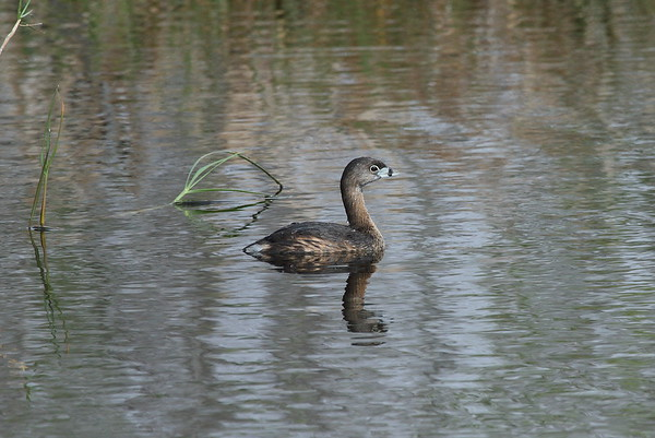 Pied-billed Grebe Nominate subspecies Podilymbus podiceps podiceps Family Podicipedidae Circle B Bar Reserve, Lakeland, Florida 14 February 2017