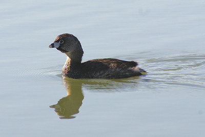 Pied-billed Grebe Nominate subspecies Podilymbus podiceps podiceps Family Podicipedidae Lake Avalon, Cumberland, Ontario 14 April 2010