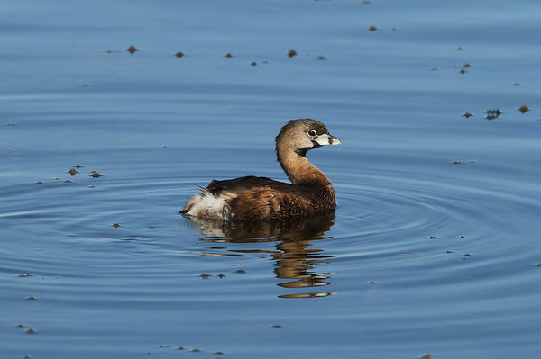 Pied-billed Grebe Nominate subspecies Podilymbus podiceps podiceps Family Podicipedidae Viera Wetlands, Melbourne, Florida 20 February 2017