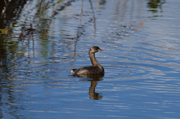 Pied-billed Grebe Nominate subspecies Podilymbus podiceps podiceps Family Podicipedidae Ten Thousand Islands National Wildlife Refuge, Goodland, Florida 31 January 2017