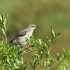 Northern Mockingbird<br> Nominate subspecies<br> <i>Mimus polyglottos polyglottos</i><br> Celery Fields, Sarasota, Florida<br> 29 March 2017